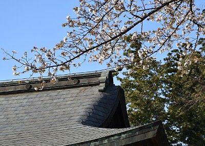 拝殿近くの桜