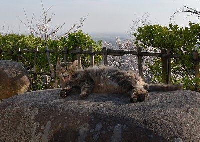岩の上で寝てた猫
