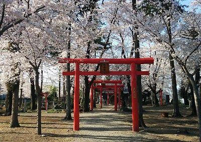桜のトンネルと鳥居