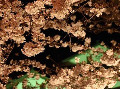 ライトアップされた桜の花びら