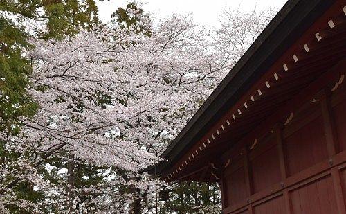三仏堂と桜