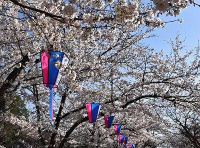 城山公園の桜