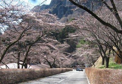 さくらの里駐車場付近の桜の様子