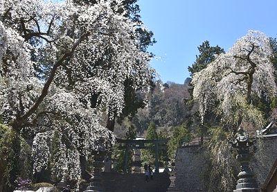 妙義神社の桜