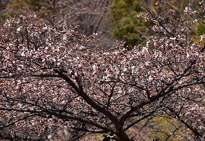 一部咲きだった桜の里の桜