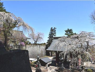 妙義神社境内のしだれ桜