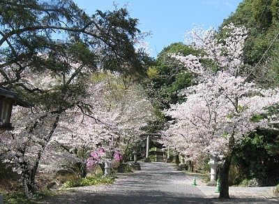 二宮金鑚神社参道の桜