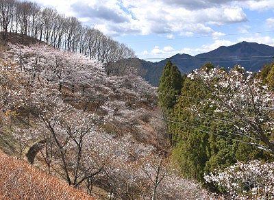 春に咲いてた冬桜
