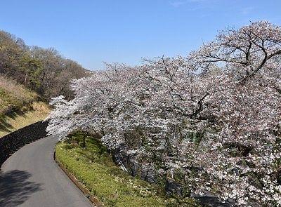 道路脇の桜並木