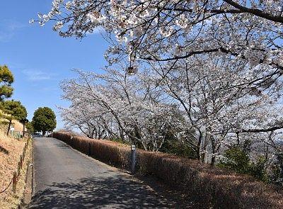 機神山山頂古墳周りの桜並木