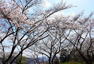 さくらの園の桜
