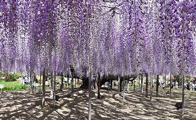 咲いた大藤棚の様子