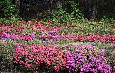 咲き乱れてる躑躅の花