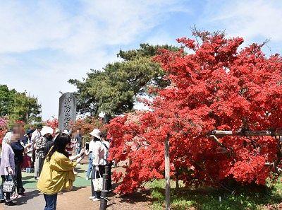 樹齢約800年のヤマツツジ