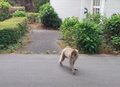 敷地内を歩いていた猿