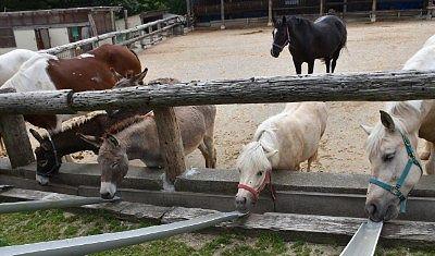 馬とロバにエサやり
