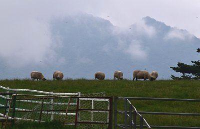 ブラウンスイス牛