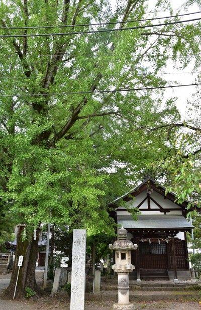 御神木大銀杏と機神神社