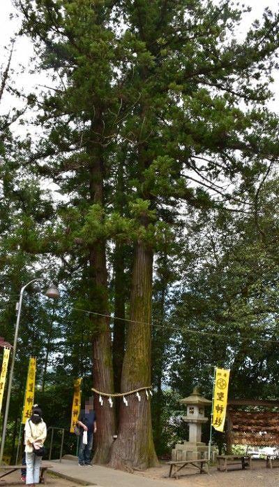 聖神社の御神木
