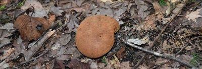 宝登山山頂で見つけたキノコ1
