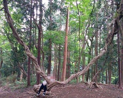 山頂付近の変わってる木