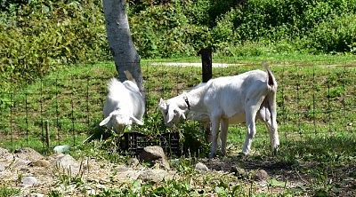 ゴロネの原ヤギ牧場