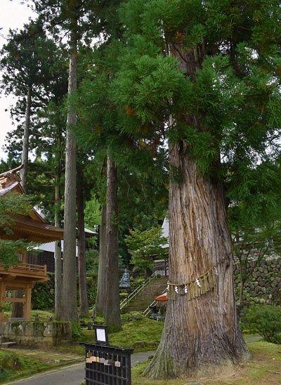 長寿の大木