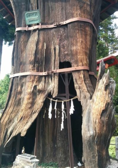 大きな神代杉の中にまた小さい杉の木