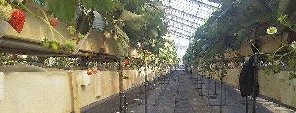 イチゴの生育状況