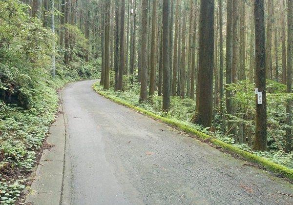 スギの木に囲まれた道路