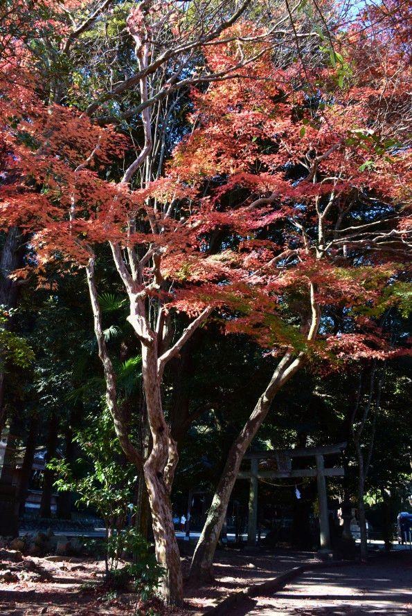 賀茂神社の紅葉