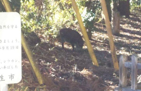 境内にいた猪