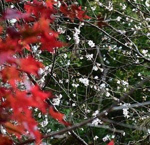 寒桜とモミジ