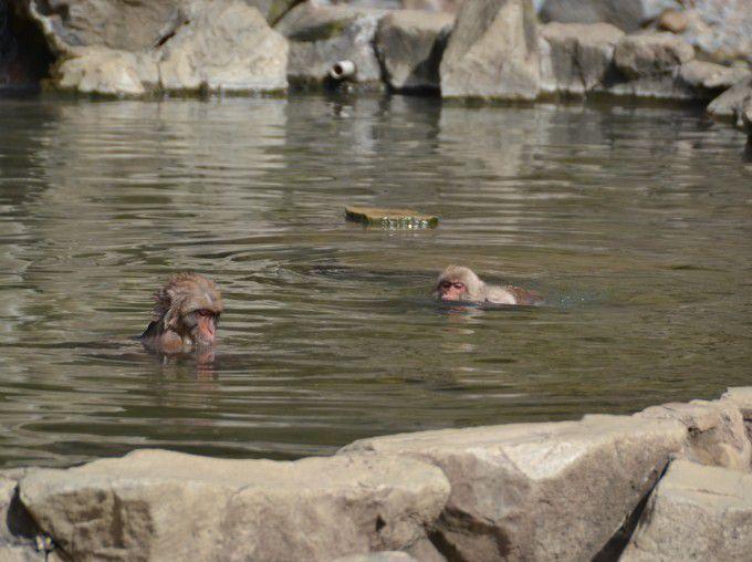 温泉にいる猿