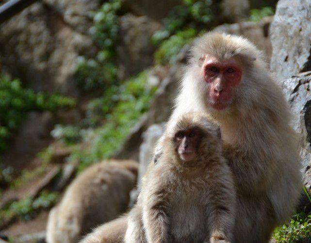 日本猿の親子