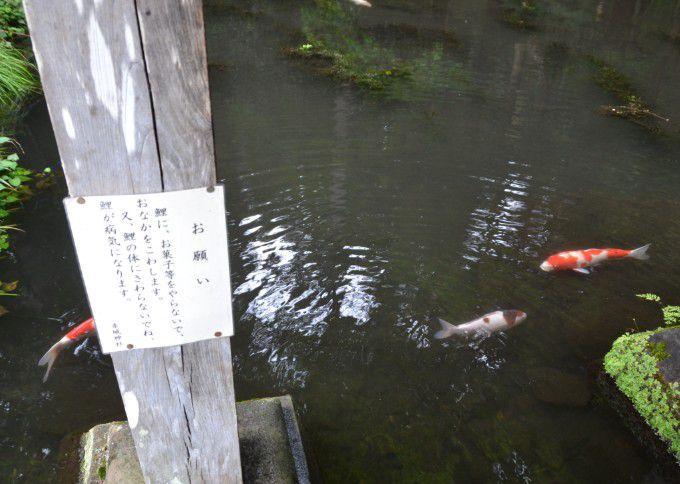 池で泳いでる鯉