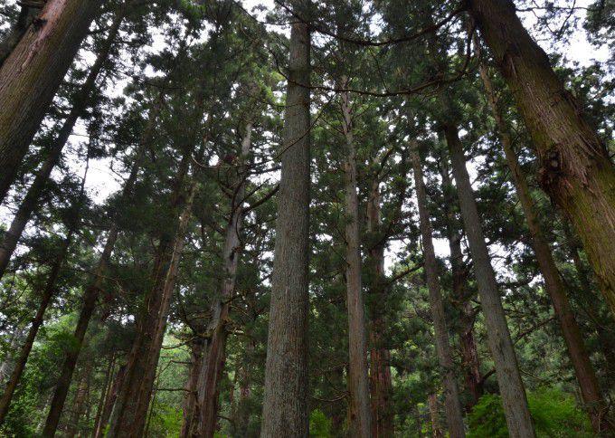 うっそうと茂った杉の森