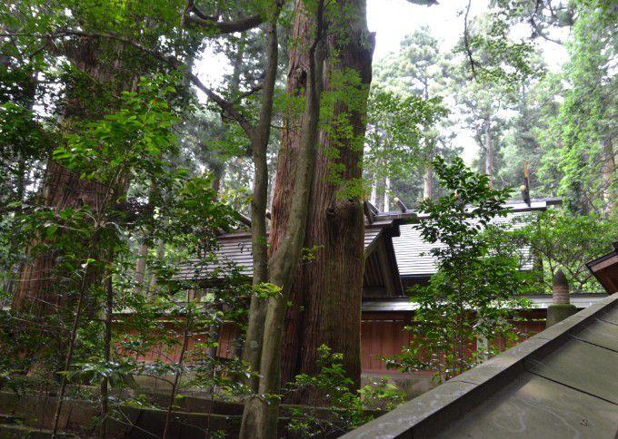 三夜沢赤城神社のたわら杉