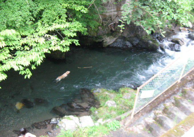 桐生川で川遊びする犬