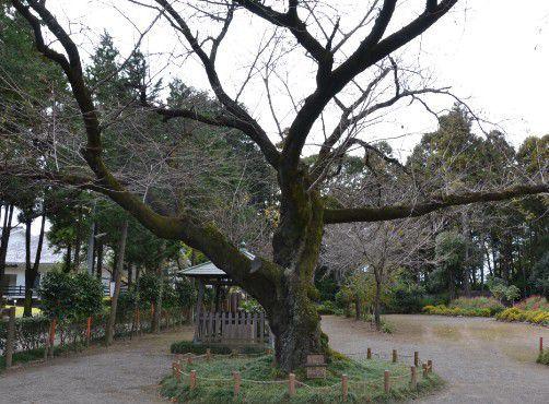 群馬県で一番太いソメイヨシノの木