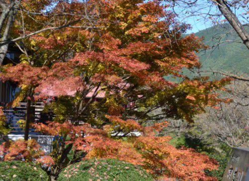 梅田大橋横の楓の紅葉