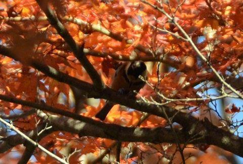 モミジの木にいた鳥