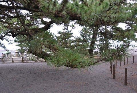 砂浜に垂れ下がる松の枝