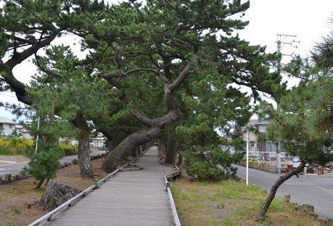 神の道にある松の木