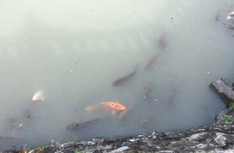 お堀にいた鯉
