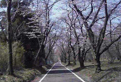 上のほうの桜の開花状況
