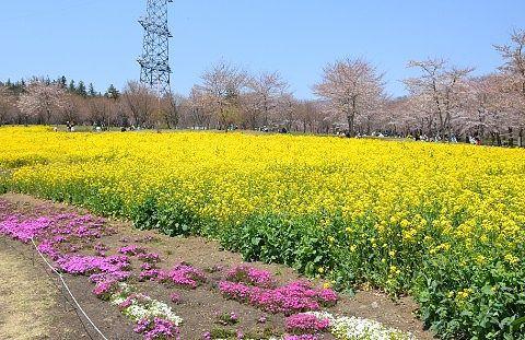 千本桜の中にお花畑