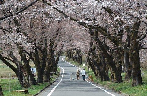 ずっと続く桜のトンネル
