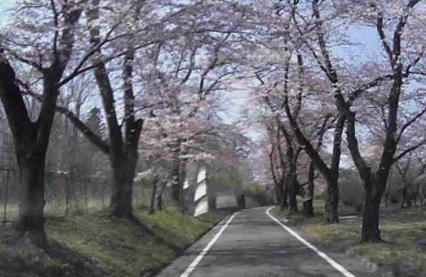 車で通る桜のトンネル