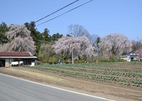 道中見かけた桜
